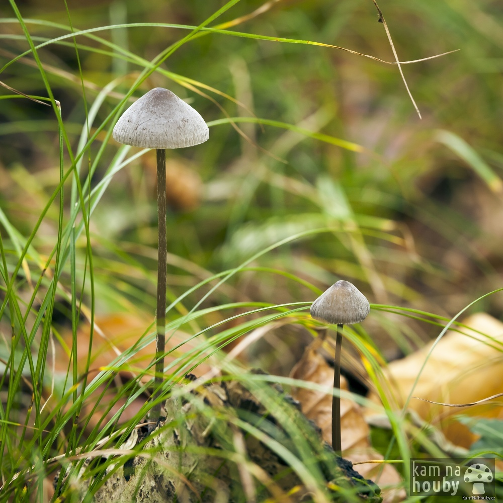 Helmovka šafránová - Mycena crocata