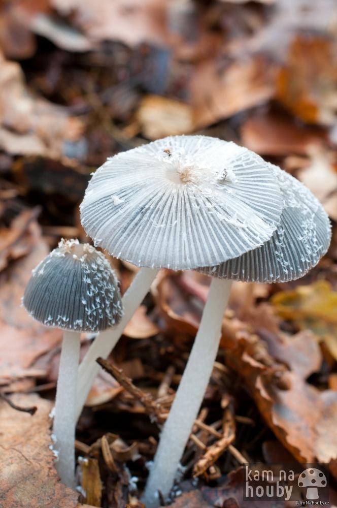 Hnojník řasnatý - Parasola plicatilis